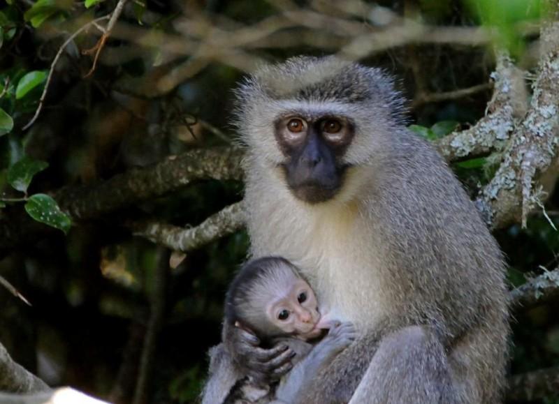 Cría de mono de Vervet