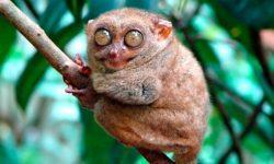 Mono tarsero