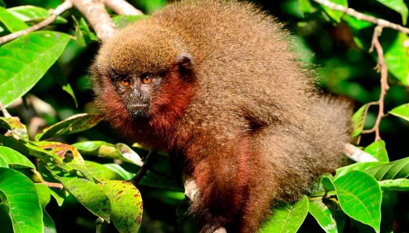 Mono Titi de vientre rojo