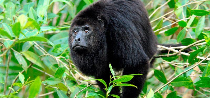 Monos aulladores
