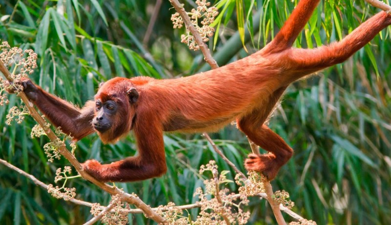 Monos aulladores rojos