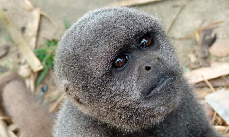 Monos lanudos
