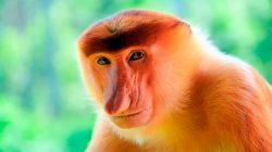 Mono narigudo
