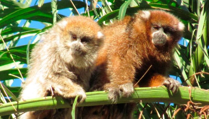 Monos Titi de orejas blancas