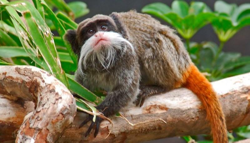 Monos tití emperador