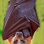 Fotos de murciélagos