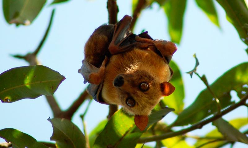 Murciélagos zorro voladores