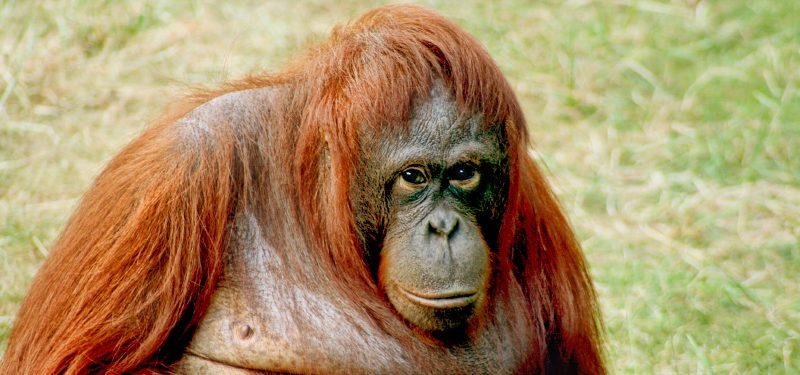 Orangutanes