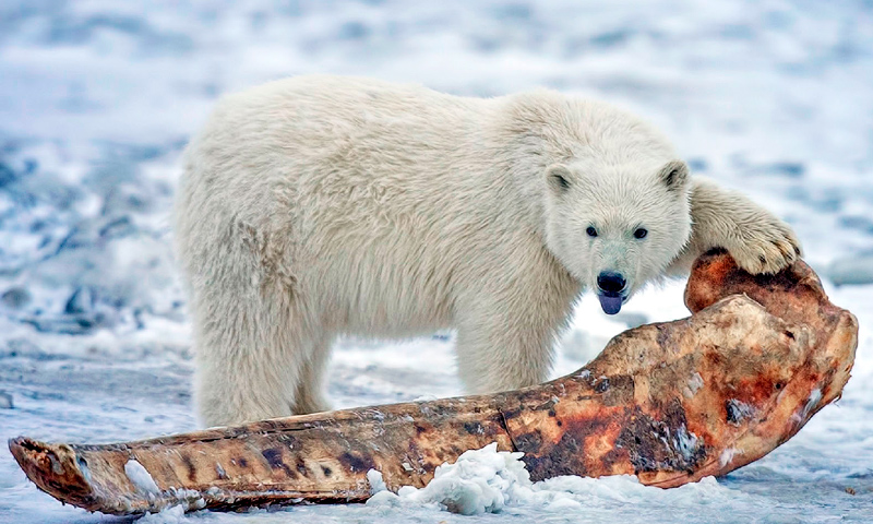 Oso Polar Información Qué Come Dónde Vive Cómo Nace