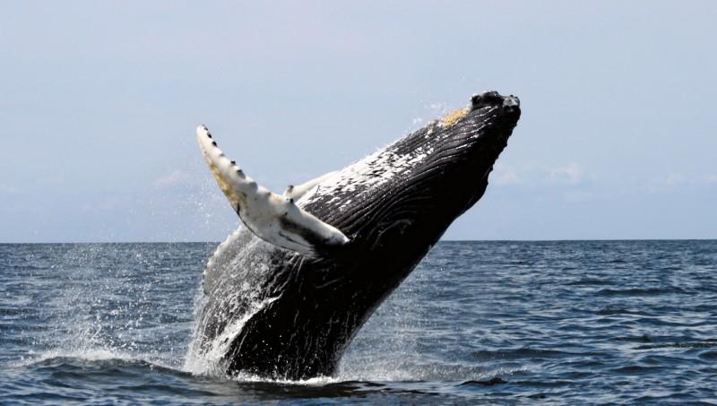 ¿Para qué les sirve la eco localización a las ballenas?