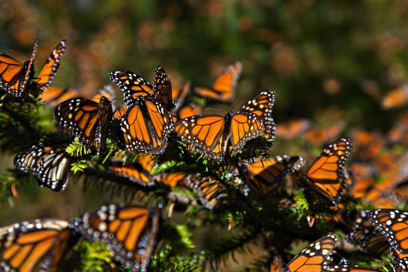 Por qué migran las mariposas monarcas