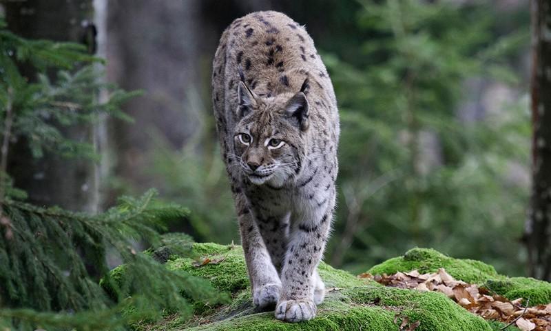 Qué animales viven en la selva negra