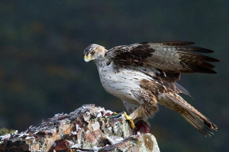 Qué comen las águilas perdiceras