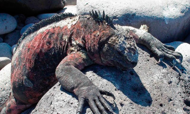 Qué comen las iguanas marinas de galápagos