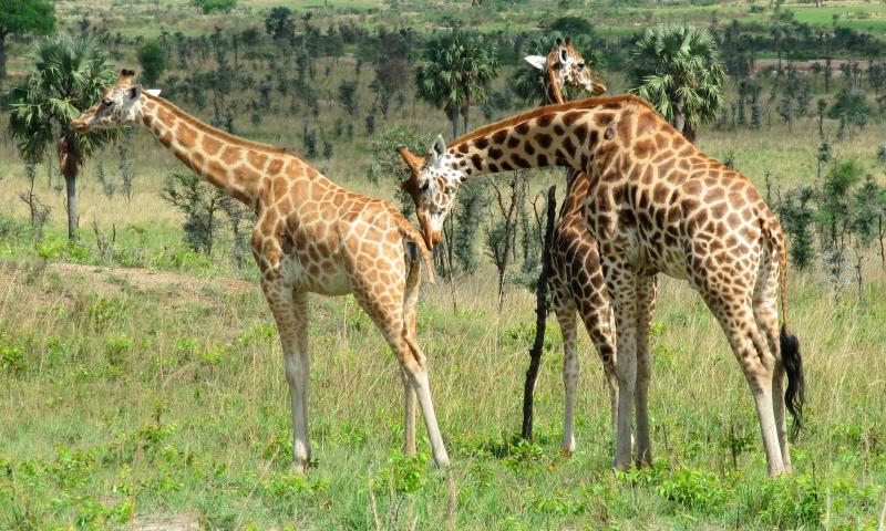 Qué comen las jirafas de Rothschild