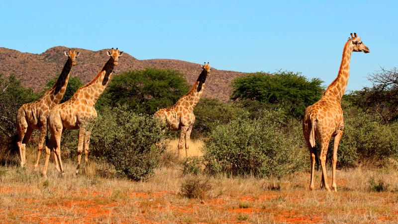 Qué comen las jirafas somalíes