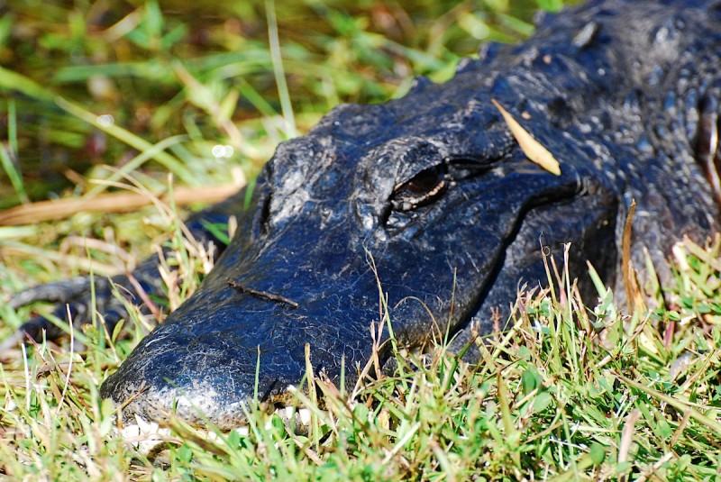 Qué comen los aligátores americanos