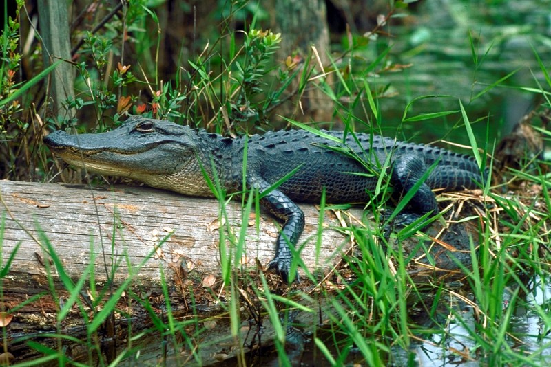 Qué comen los aligátores chinos