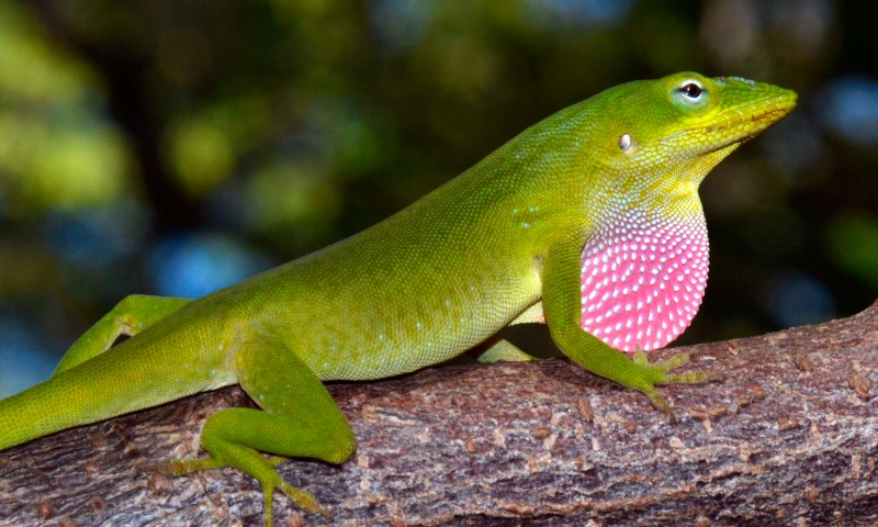 Qué comen los anolis verdes