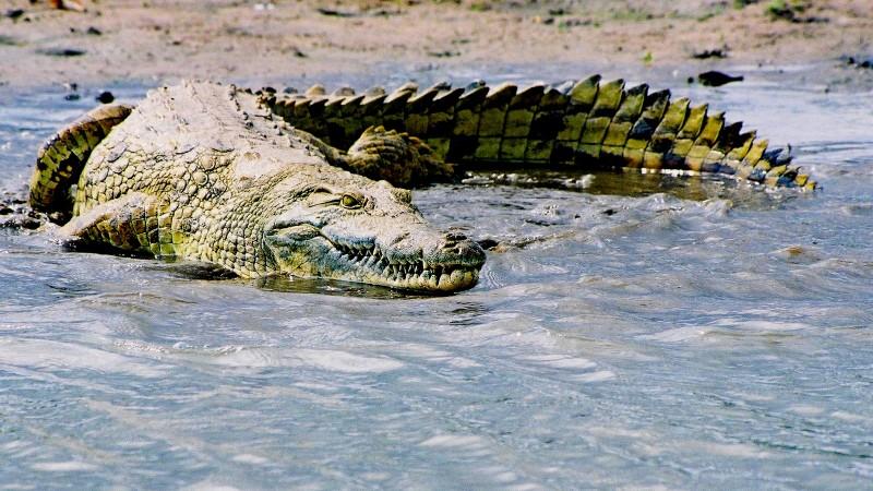 Qué comen los cocodrilos africanos