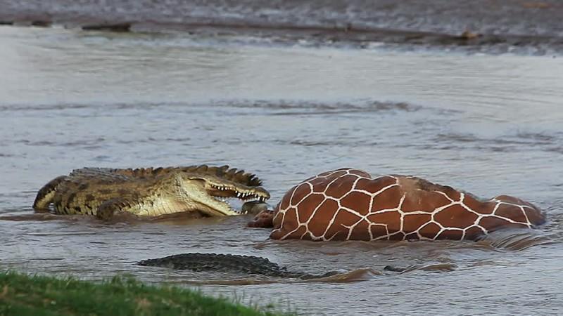 Qué comen los cocodrilos del Nilo
