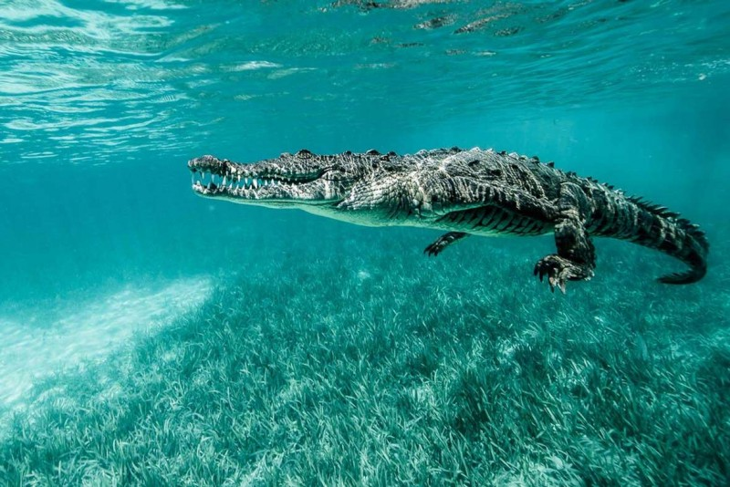 Qué comen los cocodrilos marinos