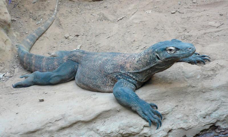 Qué comen los dragones de Komodo