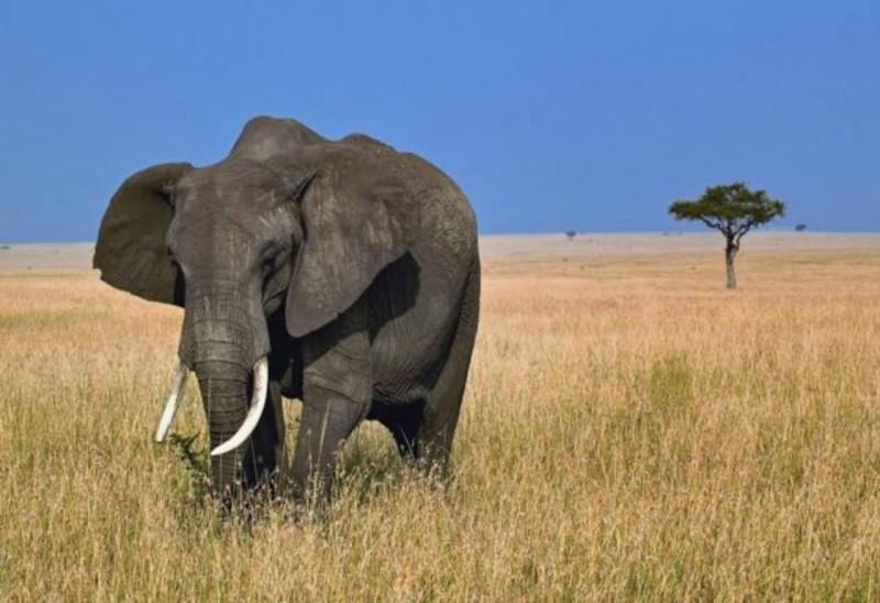 Qué comen los elefantes africanos