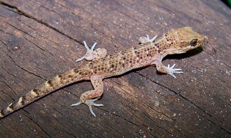 Qué comen los geckos