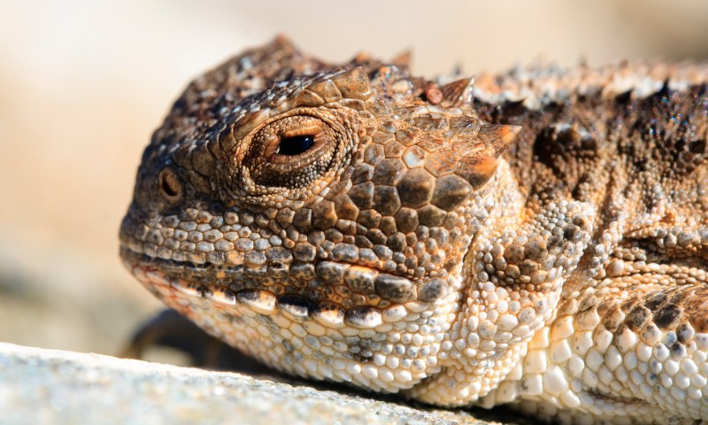 Qué comen los lagartos cornudos