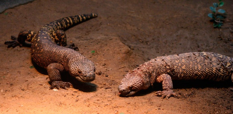 Qué comen los lagartos enchaquirados