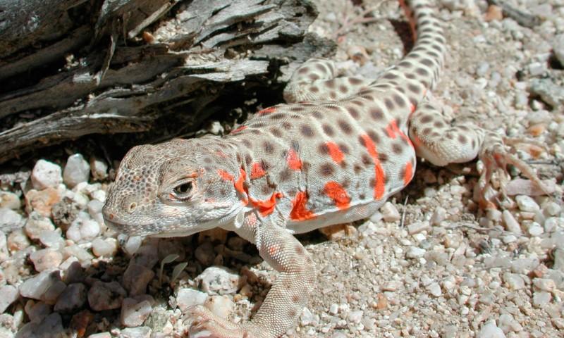 Qué comen los lagartos leopardo