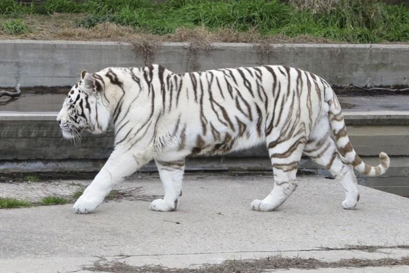 ¿Qué comen los tigres blancos?