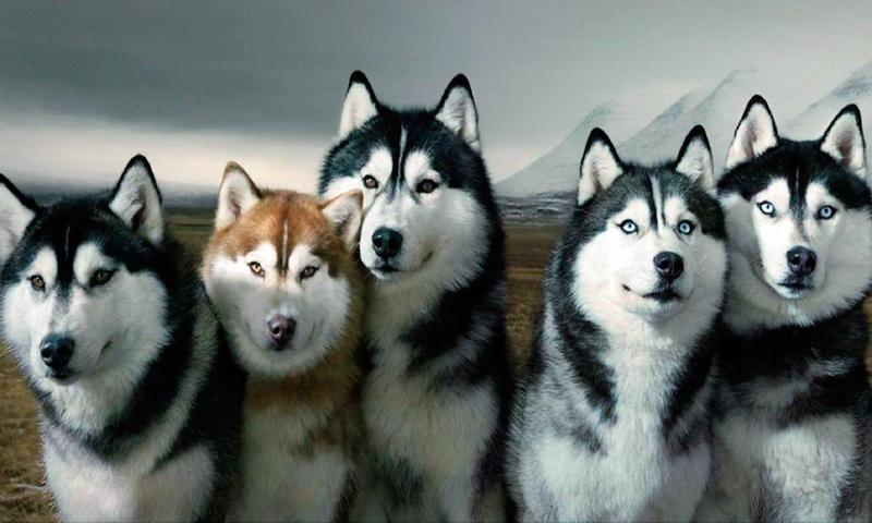 Resultado de imagen de Husky siberiano