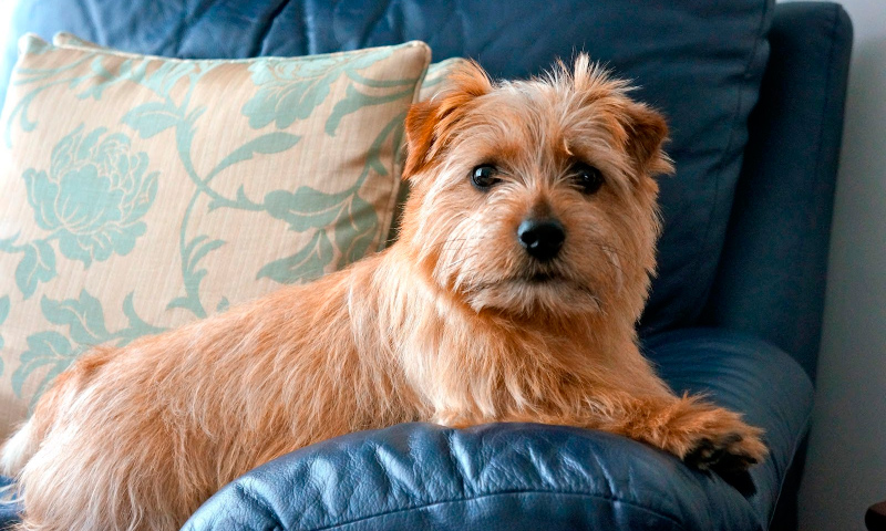 Raza Norfolk Terrier