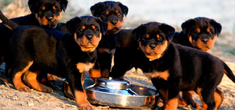 Raza Rottweiler