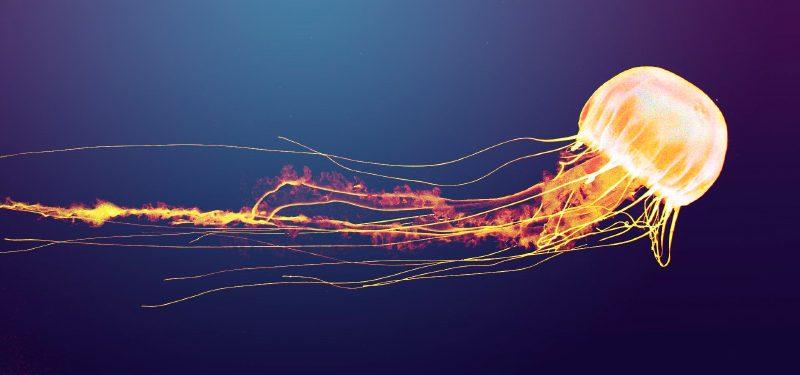 Reproducción de las medusas