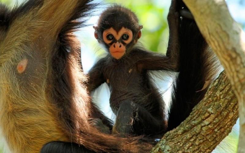 Reproducción de los monos araña