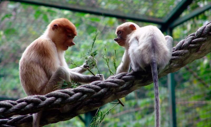Reproducción de los monos narigudos