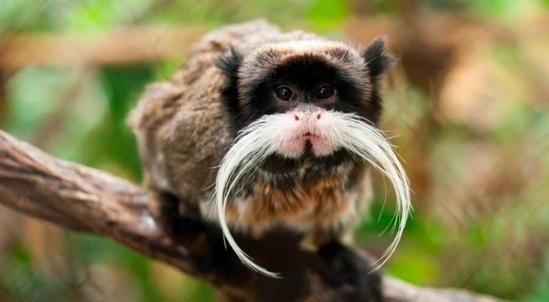 Reproducción de los monos tití emperador