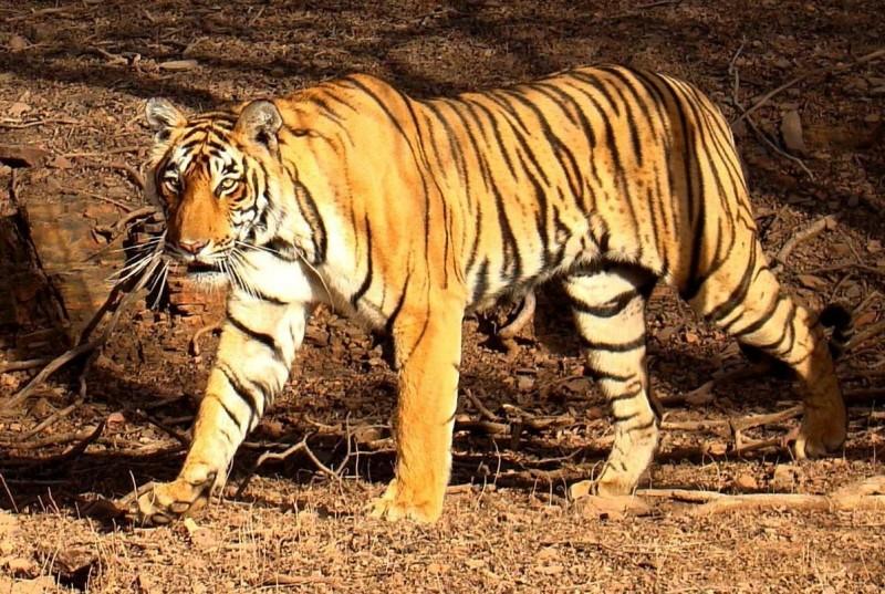 Reproducción de los tigres de bengala