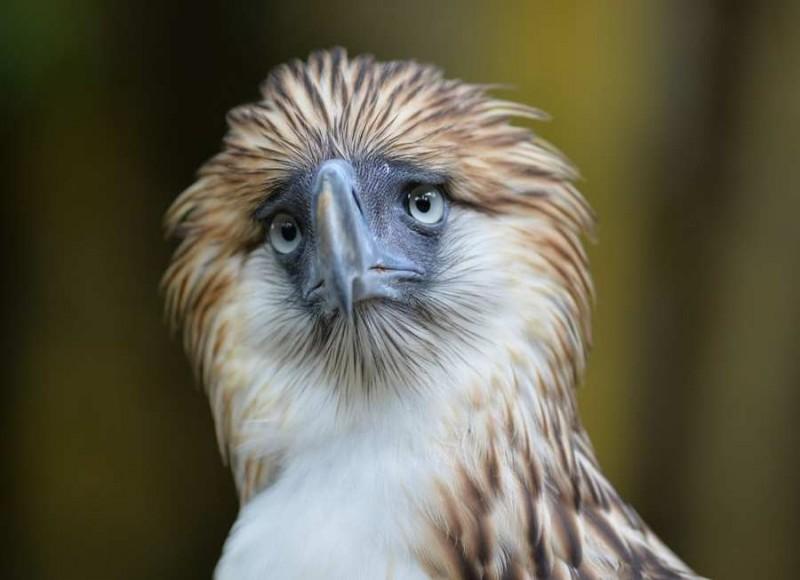 Reproducción del águila comemonos