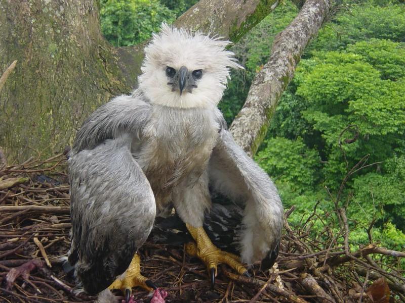 Reproducción del águila harpía