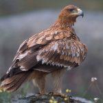 Reproducción del águila imperial oriental
