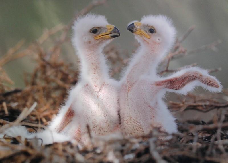 Reproducción del águila real