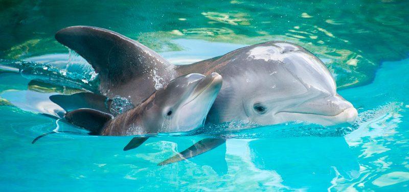 Reproducción de los delfines