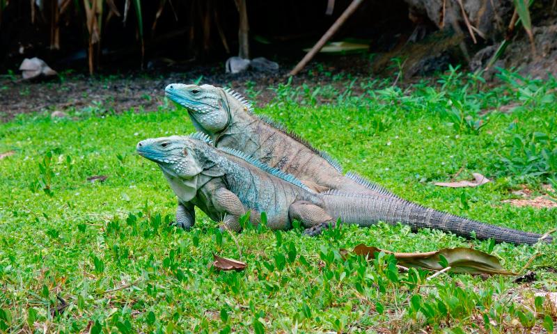 Reproducción de iguanas