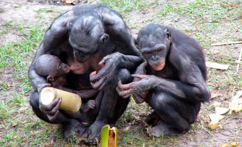 Reproducción y descendencia de los monos bonobos