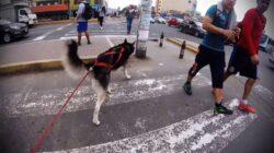 RollerJoring: patinaje y diversión con tu perro