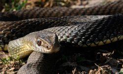 Serpiente bastarda